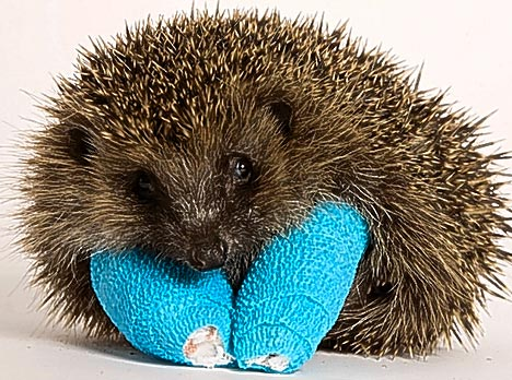 hedgehog2injured.jpg