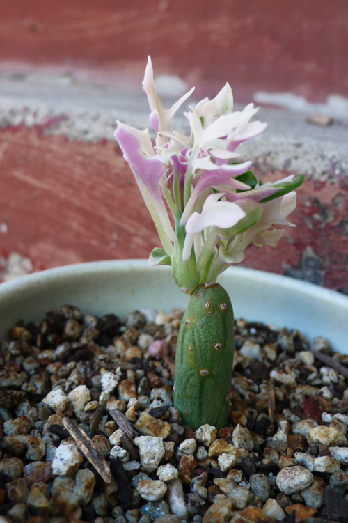 senecio, ®thelooksee, plants, succulents
