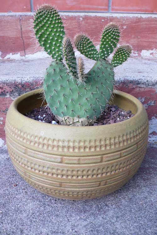 plant, pot, vintage, opuntia, container gardening, the look see